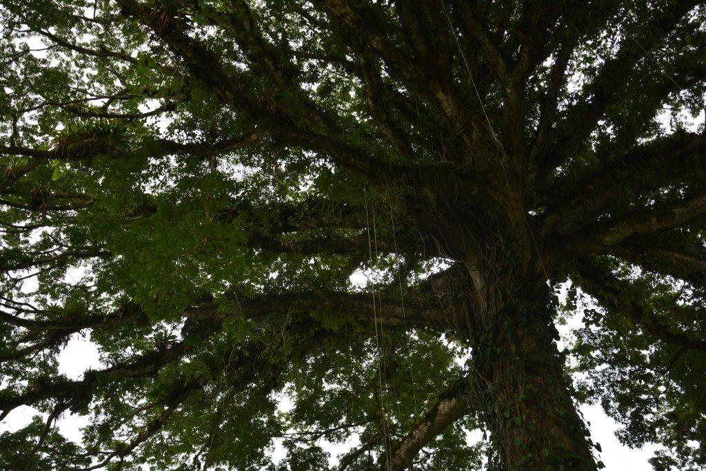 Ceiba ved Lago Arenal og La fortuna, Costa Rica myter